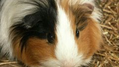 Guinea pig: how it looks
