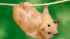 All about hamsters: how to care