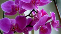 Все об орхидеях: как поливать, ухаживать, подкармливать