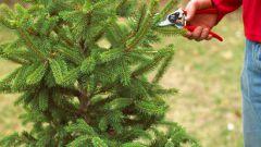 Все о елках: как ухаживать