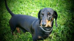Everything about dachshunds: how to walk, feed, maintain