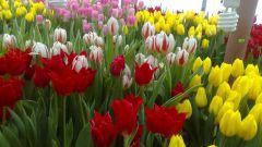 Все про тюльпаны: как ухаживать