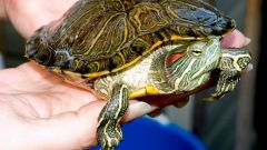 Все про черепах, как их кормить