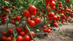 All about tomatoes: how to grow