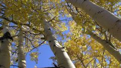 Aspen: looks like this tree