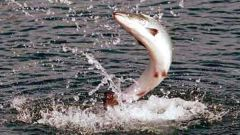 Как правильно ловить рыбу на воблер