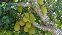 Все про какао: как растет