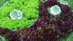 Все о салате: как выращивать