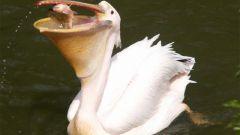 Кто такие пеликаны