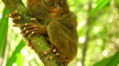 Очаровательные зверушки: долгопят