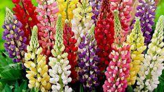 Как размножить разноцветные люпины