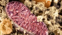 В какой ткани больше всего митохондрий