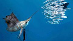 Какая рыба плавает быстрее всех