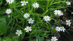 Трава мокрица: особенности и внешний вид