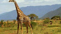 Какое животное самое высокое