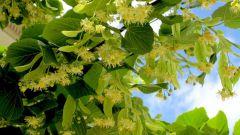 Какое дерево цветет позднее всех