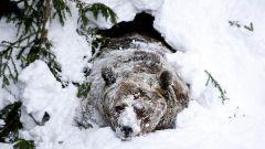 Зачем медведи впадают в спячку