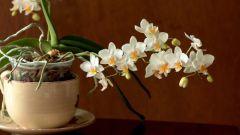 Как выглядят корни у орхидеи