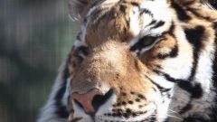 Чего ждать от года Тигра