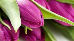 Как выращивать красивые тюльпаны