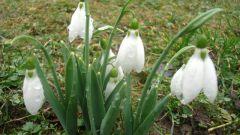 Какое растение весной зацветает раньше всех