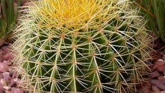 Как выращивать эхинокактус