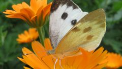 How to get rid of butterflies-cabbage white