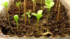 Когда и как сеять семена Астр