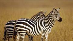 Какие есть полосатые животные