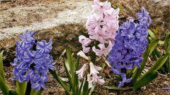 Какое растение в Греции называют цветком дождей