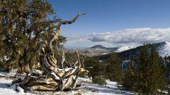 Какое дерево самое старое в мире