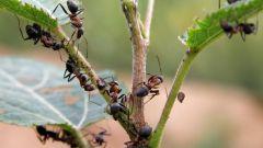 Как вывести муравьев на участке