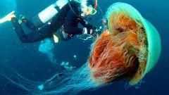 Каких размеров достигает медуза цианея