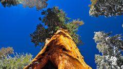 Самые высокие, толстые, легкие и тяжелые деревья