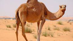 Какие животные обитают в пустыне