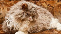Существуют ли кудрявые кошки