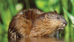 Какие млекопитающие водятся в болоте