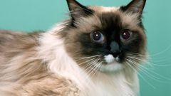 Признаки начала родов у кошки