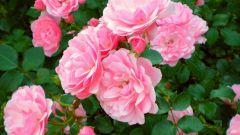 Какие розы называются чайными