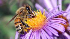 Использование сушеных пчел в нетрадиционной медицине