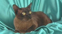 Бурманская европейская кошка: особенности вида