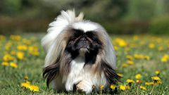 How to care for a Pekingese