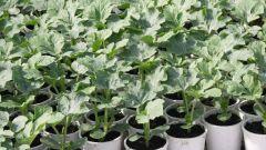 Как посадить семена арбуза на рассаду