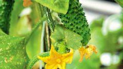Какие семена огурцов лучше сажать в средней полосе