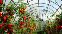 Как надо сажать помидоры в теплицу