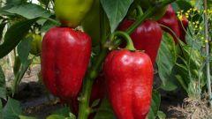 Как подготовить семена перца к посадке