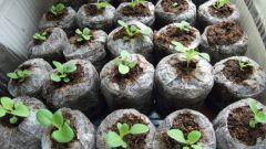 Как проращивать семена в таблетке