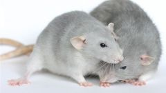 Как ухаживать за беременной крысой