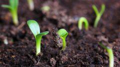 Какие семена надо  сажать в грунт