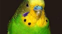 Как уберечь волнистого попугайчика от опасностей в квартире